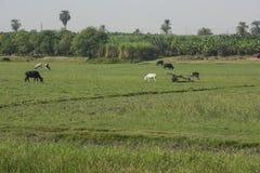 Wiejski pole z bydło i osła bydlęciem w Africa obraz royalty free