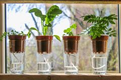 Wiek het water geven Installaties in potten op glazentribune op een plank op een venster stock foto's
