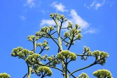 Wiek roślina z ogromnym badylem Obraz Royalty Free