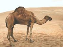 Wielbłąd w pustyni obrazy royalty free