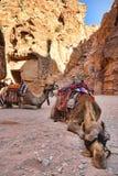 wielbłądów Jordan petra Obraz Royalty Free