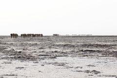 Wielbłądów przewożenia karawanowa sól w Afryka ` s Danakil pustyni, Etiopia Zdjęcie Royalty Free