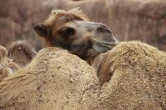 wielbłądów target1406_0_ Obraz Stock