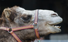 wielbłądów zbliżenia głowa Zdjęcia Royalty Free