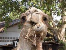 Wielbłąd śmieszny Obraz Royalty Free