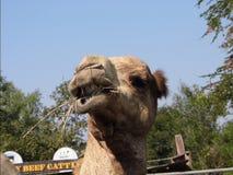 Wielbłąd śmieszny Zdjęcia Royalty Free
