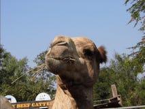 Wielbłąd śmieszny Obrazy Royalty Free