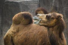 Wielbłąd Fotografia Royalty Free