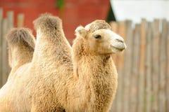 wielbłąd Fotografia Stock
