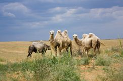 wielbłąd Zdjęcia Royalty Free