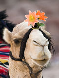 wielbłąd Obrazy Royalty Free