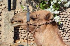 Wielbłąd Zdjęcia Stock