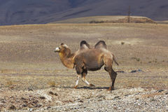 wielbłąd bactrian Fotografia Stock