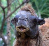 wielbłąd bactrian Obrazy Stock