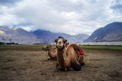 wielbłąd bactrian Fotografia Royalty Free