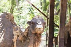 Wielbłąd brudny w gospodarstwie rolnym Fotografia Royalty Free
