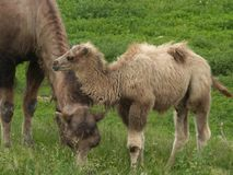 wielbłąd dziecka Fotografia Royalty Free