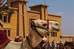 Wielbłąd głowa w profilu Egipt Fotografia Royalty Free