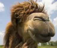wielbłąd głowy Zdjęcia Stock