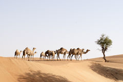 Wielbłąd grupa Zdjęcia Stock