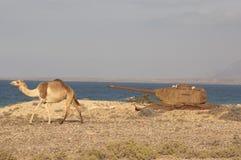 Wielbłąd i zbiornik przy dennym kosztem Socotra wyspa Obrazy Stock