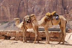 Wielbłąd Jordania w wadiego rumu pustyni, (także znać jako dolina księżyc) Zdjęcia Stock