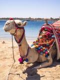 Wielbłąd na plaży Obrazy Royalty Free