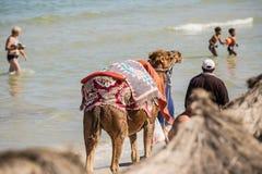 Wielbłąd na plaży, natura, zwierzęta, Monastir, tunezyjczyk Fotografia Stock