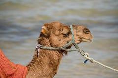 Wielbłąd na plaży, natura, zwierzęta, Monastir, tunezyjczyk Zdjęcie Royalty Free