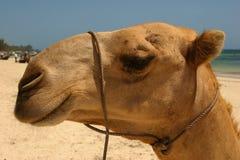 Wielbłąd na piasku obrazy stock