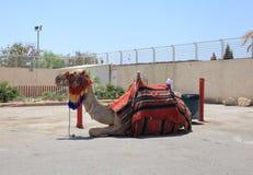 Wielbłąd odpoczywa blisko Nieżywego morza w Izrael Obrazy Royalty Free