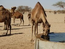 Wielbłąd pije przy podlewanie stacją w saudyjczyku - arabska pustynia Fotografia Royalty Free