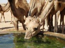 Wielbłąd pije przy podlewanie stacją w saudyjczyku - arabska pustynia Zdjęcia Stock