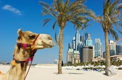 Wielbłąd przy miastowym budynku tłem Dubaj. Zdjęcie Royalty Free