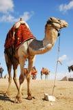 wielbłąd pustyni Zdjęcie Stock