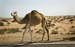 wielbłąd pustynia Zdjęcie Royalty Free