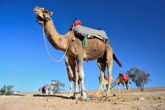 wielbłąd pustynny Morocco Fotografia Royalty Free
