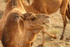 wielbłąd pustynny Morocco Sahara fotografia stock