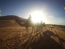 wielbłąd pustynny Sahara fotografia royalty free