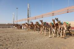 Wielbłąd rasa w Doha, Katar fotografia royalty free