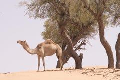 wielbłąd sam Fotografia Royalty Free
