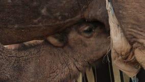Wielbłąd ssa mleko zbiory wideo