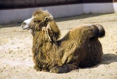 Wielbłąd ssak pustynny step jest symbolem garb pustyni statku wełna chrapy przeżuwacz obrazy stock