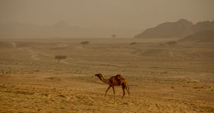 Wielbłąd w Arabskiej pustyni Obraz Royalty Free