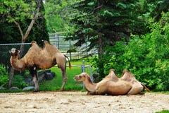 Wielbłąd w Assiniboine parku, Winnipeg, Manitoba Fotografia Royalty Free