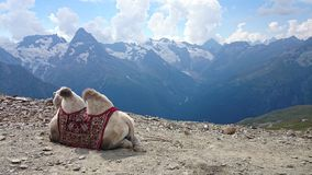 Wielbłąd w górach Obrazy Royalty Free