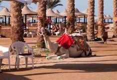 Wielbłąd w Hurghada w Egipt, Afryka Obrazy Royalty Free