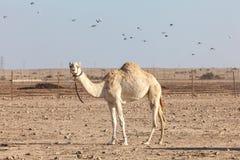 Wielbłąd w Katar Obrazy Royalty Free