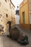Wielbłąd w miasteczku Zdjęcie Royalty Free