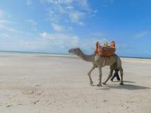 Wielbłąd W Mombasa obraz stock